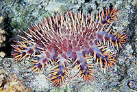 BNPS.co.uk (01202) 558833<br /> Picture: AnimalEarth<br /> <br /> Sea star (Acanthaster planci). It's spines break easily, remaining in the skin causing irritation<br /> <br /> New book uncovers the animal world in all its profusion and glory featuring an astounding cornucopia of astonishing life.<br /> <br /> An extraordinary new book reveals the weird and wonderful diversity of life on earth with a selection of stunning pictures of some of the lesser known creatures that inhabit the planet.<br /> <br /> Author Ross Kemp has travelled the globe photographing and researching some of the worlds wackiest animals, many to small to be seen by the human eye, for his new book Animal Earth.<br /> <br /> The book shows the bizarre lives of some of the most unknown and overlooked animals on the planet. Incredible photographs by some of the World's best macro photographers show the marine world in unprecedented detail. Some of the photographs reveal weird and wonderful organisms that have transparent skin, bold colours and some even appear to glow in the dark. <br /> <br /> The book, Animal Earth, costs &pound;29.95 from thamesandhudson.