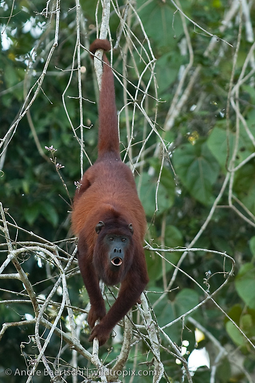 Red howler monkey (Alouatta seniculus) climbing on lianas on a tree in lowland tropical rainforest along the Rio Manu, Manu National Park, Madre de Dios, Peru.
