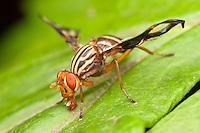 Picture-winged Fly (Idana marginata), Ward Pound Ridge Reservation, Cross River, Westchester County, New York