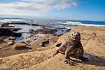 A marine iguana on Santiago Island in the Galapagos National Park, Galapagos, Ecuador, South America