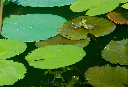 close up of the detail in picture.....Two bullfrogs, Rana catesbeiana,  sit close-- almost cuddle-- on their lily pad until some jokers hop out and make fun