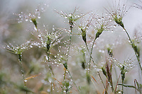 Raindrops on Ovate goat grass (Aegilops geniculata), Monte Titano, San Marino.