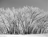 cottonwood trees in winter on The Ruby Ranch in New Mexico