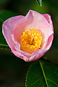 Camellia x williamsii 'Elizabeth Rothschild' (japonica x saluenensis), mid March.