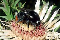 Steinhummel, Stein-Hummel, Bombus lapidarius, Pyrobombus lapidarius, Aombus lapidarius, Weibchen beim Blütenbesuch auf Silberdistel, Nektarsuche, Bestäubung, red-tailed bumble bee, female