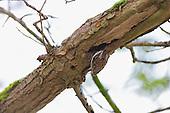 Treecreeper - (Certhia familiaris)
