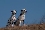 Dalmatian<br />