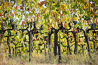 Ripened Brunello grapes, Sangiovese, growing on vines at the wine estate of La Fornace at Montalcino in Val D'Orcia, Tuscany, Italy