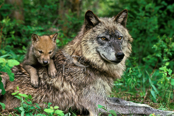 Gray wolf or timber wolf adult with young pup (Canis lupus).