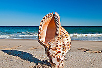 Seashell, Giant Triton or Trumpet Triton shell, Triton (gastropod) (Charonia tritonis),