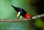 Red-capped Manakin (Pipra mentalis) male during courtship display, Soberania National Park, Panama.<br /> Slide # B103-504