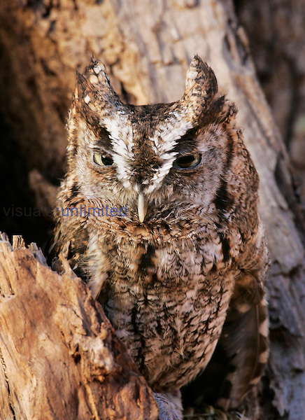 Eastern Screech Owl ,Otus asio,, Eastern USA.