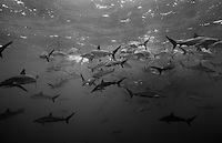 RM0644-Dbw. Silky Sharks (Carcharhinus falciformis), more than 100 gathered together to feed on small fish in baitball. Baja, Mexico, Pacific Ocean. Color photo converted to black and white.<br /> Photo Copyright &copy; Brandon Cole. All rights reserved worldwide.  www.brandoncole.com