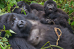 Mountain gorilla with offspring, Volcanoes National Park, Rwanda