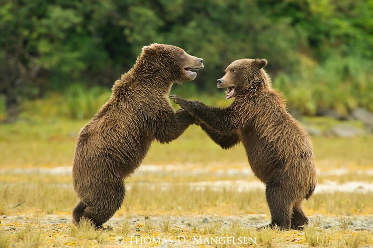 A pair of coastal brown bears play fight along the shore in Katmai National Park, Alaska.