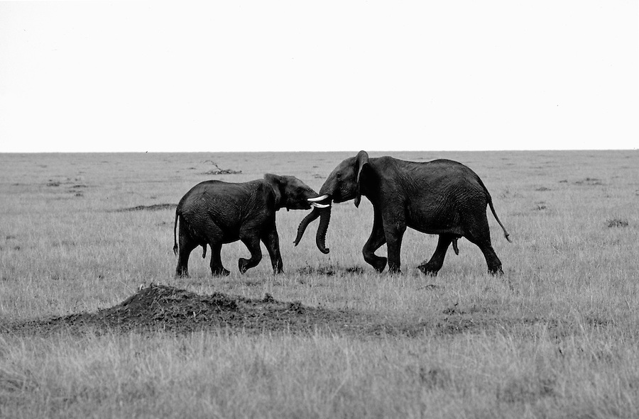 Elephants fighting,  Maasai Mara National Reserve, Kenya
