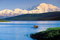 Bull moose feeds in Wonder lake, snow covered Mt. Denali, Denali National Park, Alaska