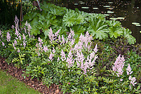 Astilbe groundcover for shade
