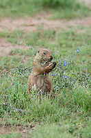 673010025 a wild black-tailed prairie dog cynomis ludovicianus in a small prairie dog town on empire ceienega natural conservation area pima county arizona