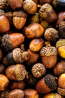Collection of acorns from a variety of oak trees.