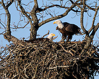 Two adult bald eagles in the nest near Llano, TX