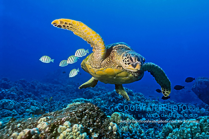 green sea turtle, Chelonia mydas, endangered species, with cleaning reef fish - convict tang, Acanthurus triostegus, and gold-ring surgeonfish, Ctenochaetus strigosus, Kona Coast, Big Island, Hawaii, USA, Pacific Ocean