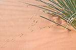 Coral Pink Sand Dunes State Park, Kanab, Utah; Ord's Kangaroo Rat (Dipodomys ordii) tracks in the sand at the base of a Kanab Yucca (Yucca kanabensis) plant