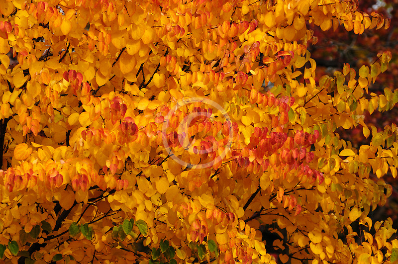 Canada, Autumn foliage, red and yellow maple trees