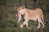 Lioness carrying her cub to the safety of a new den in the Masai Mara Reserve, Kenya, Africa (photo by Wildlife Photographer Matt Considine)