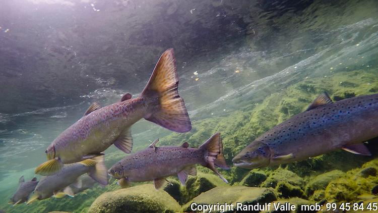 Undervannsbilde av laks på gyteplassen. ---- Underwater picture of salmon at spawning grounds.