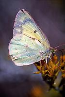 MOTHS AND BUTTERFLIES<br /> Butterfly Feeding (Phoebis)