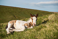 Wild Welsh Mountain Pony Foal near Hay Bluff, Black Mountains, Brecon Beacons national park, Wales