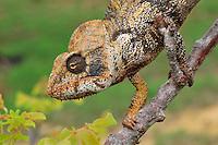 Malagasy Giant Madagascar or Oustalet's Chameleon (Furcifer oustaleti),adult male, Montagne des Français Reserve, Antsiranana, Madagascar