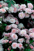 Rosa 'Pink Bells' ('Procumbent', 1980) pink flowers roses
