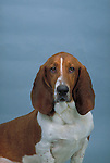 Bassett Hound Shopping cart has 3 Tabs:<br /> <br /> 1) Rights-Managed downloads for Commercial Use<br /> <br /> 2) Print sizes from wallet to 20x30<br /> <br /> 3) Merchandise items like T-shirts and refrigerator magnets