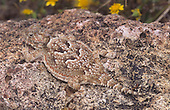 Desert Horned Lizard (Phrynosoma platyrhinos) camouflaged,  Mohave Desert, California, USA.