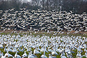 WA08145-00...WASHINGTON - A large flock of snow geese in a farm field being joined by a second group on Fir Island in the Skagit River Delta.