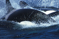 Killer whales (Orcinus orca) charge through the waters of Monterey Bay, California.