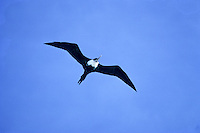 Great Frigate Bird (iwa) in flight; Kure Atoll, Northwestern Hawaiian Islands