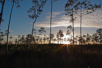 The sun sets amid the slash pines near Pine Glades Lake in Everglades National Park, Florida.