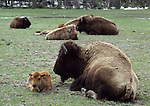 bison calf and cow in Pocket Basin