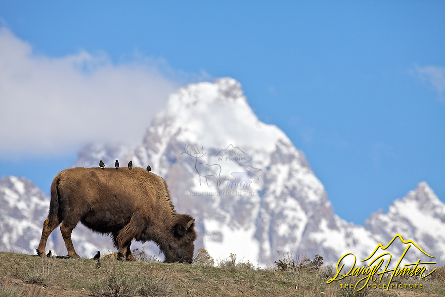Birds gazing at the Grand Tetons from the back of a bison as if they were a bunch of tourists on a bus.<br /> <br /> Pardon my anthropomorphisation :D