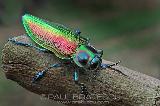 Metallic Wood-boring Beetle or Jewel Beetle (Euchroma gigantea) Costa Rica