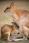 Agile wallaby with joey, Australia