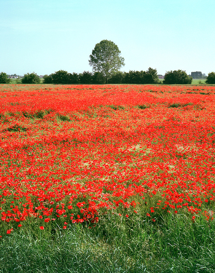 Field of poppies near Parma, Italy