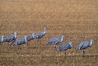 512666078 a flock of sandhill cranes grus canadensis forage in a large field in bosque del apache national wildlife refuge new mexico