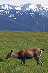 Deer gaze in a meadow at Hurricane Ridge, a mountainous area in Washington's Olympic National Park. It can be accessed by road from Port Angeles and is open to hiking, skiing, and snowboarding. At an elevation of about 5,200 feet (1,585 m), Hurricane Ridge is a year-round destination. In summer, visitors come for views of the Olympic Mountains, as well as for superb hiking. During the winter months the small, family oriented Hurricane Ridge Ski and Snowboard Area offers lift-serviced downhill skiing and snowboarding. Hurricane Ridge is named for its intense gales and winds. The weather in the Olympic Mountains is unpredictable, and visitors should be prepared for snow at any time of year. Jim Bryant Photo. ©2013. All Rights Reserved.