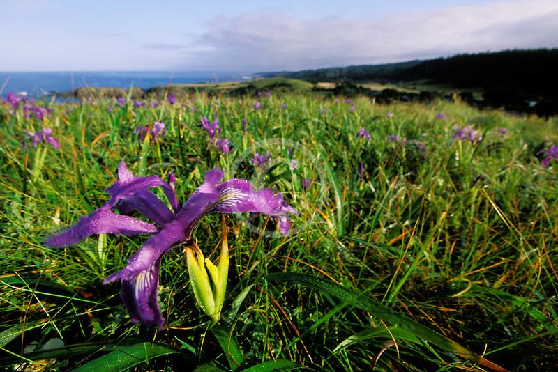 California, Mendocino County, Albion, WIld Iris on hillside