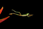 Red Eyed Tree Frog, Agalychnis callidryas, leaping from flower, mid-air, protective nictating membrane covering eyes, Costa Rica, jumping, high speed photographic technique, tropical jungle, South America.Central America....