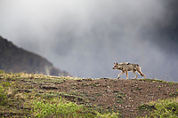 Gray wolf on a mountain ridge in Denali National Park, Alaska.